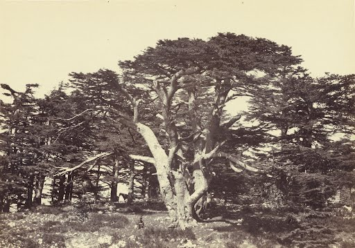 Photo-Print-Reproduction-Largest-Of-Cedars-Mount-Lebanon-Francis-Frith-Eng