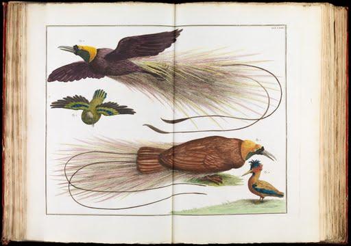 Birds-Paradise-Paradisaeidae-Albertus-Seba-1734-Art-Photo-Poster-Repro-Print